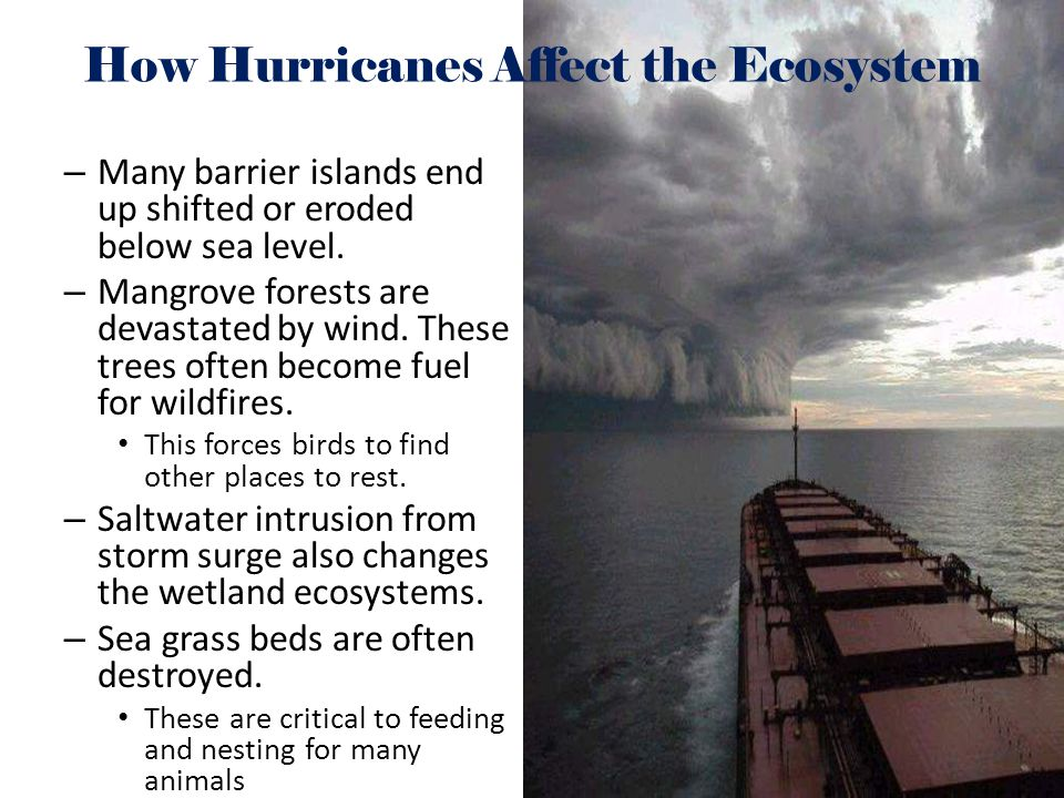 –M–Many barrier islands end up shifted or eroded below sea level. –M–Mangrove forests are devastated by wind. These trees often become fuel for wildfi