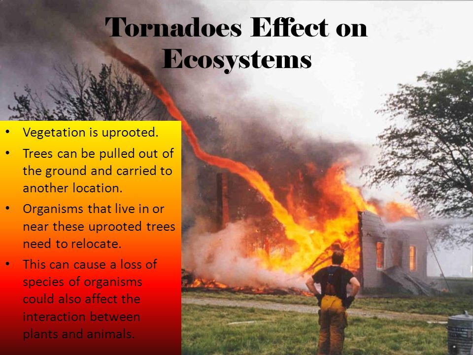 Tornadoes Effect on Ecosystems Vegetation is uprooted. Trees can be pulled out of the ground and carried to another location. Organisms that live in o