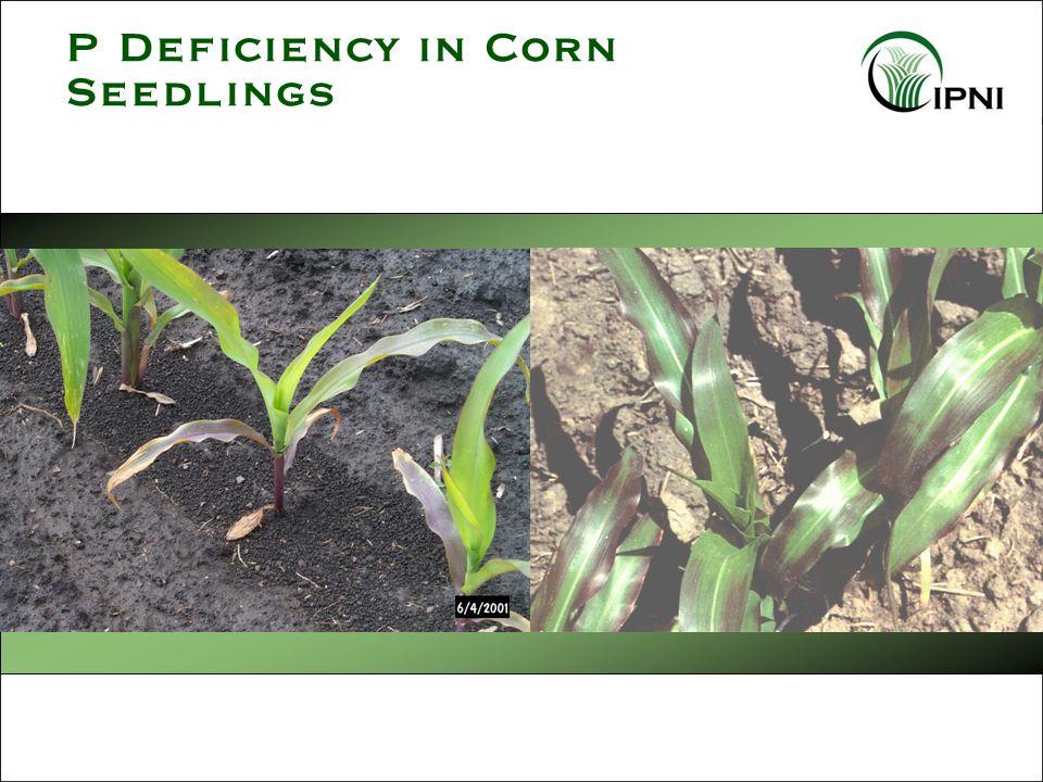P Deficiency in Corn Seedlings