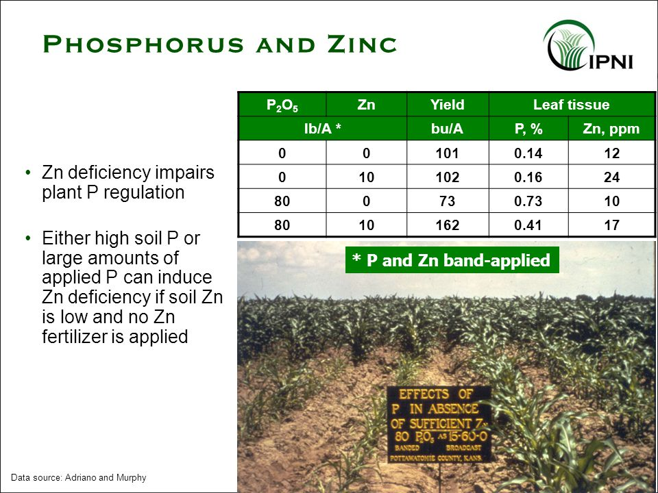 Zn deficiency impairs plant P regulation Either high soil P or large amounts of applied P can induce Zn deficiency if soil Zn is low and no Zn fertilizer is applied P2O5P2O5 ZnYieldLeaf tissue lb/A *bu/AP, %Zn, ppm 001010.1412 0101020.1624 800730.7310 80101620.4117 Data source: Adriano and Murphy * P and Zn band-applied Phosphorus and Zinc