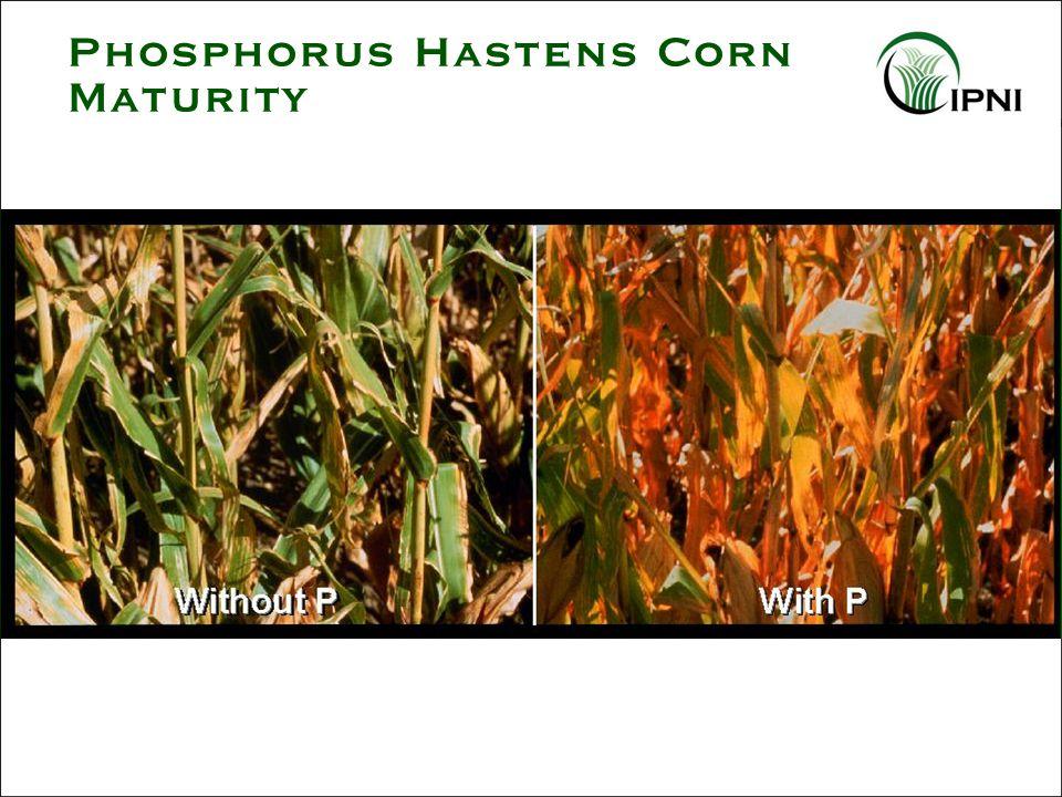 Phosphorus Hastens Corn Maturity