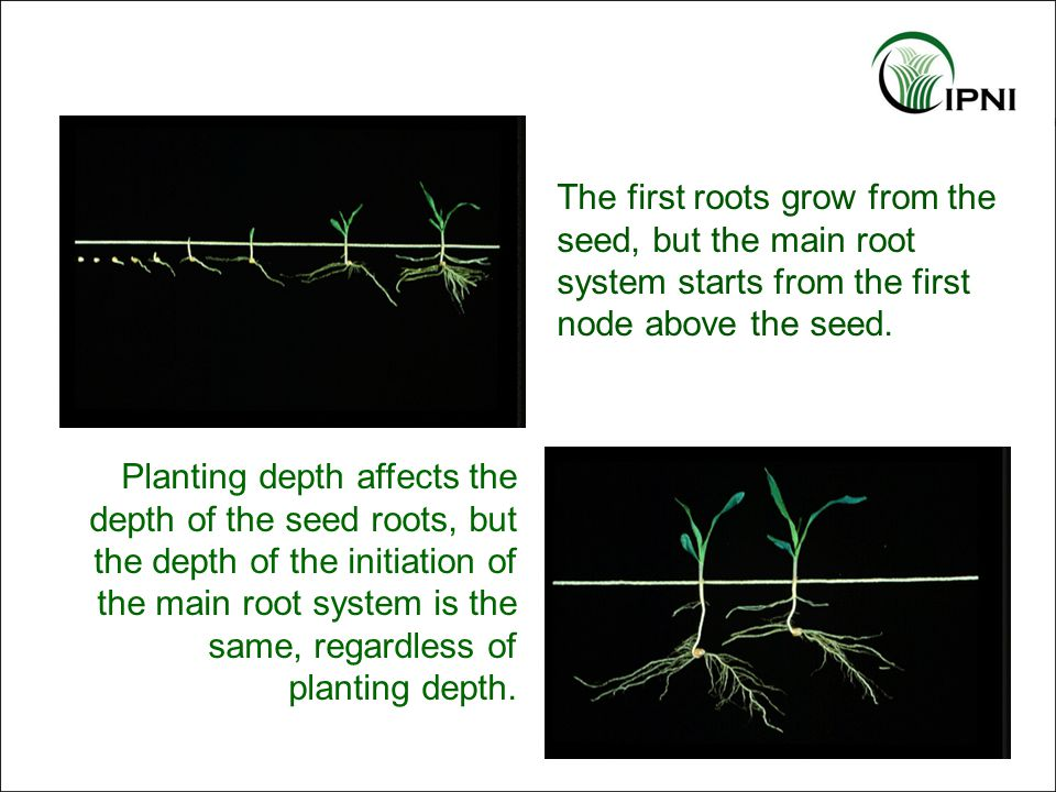 Overwhelms soil fixation capacity Places nutrients near the seedling –Roots intercept early and proliferate near the band –Including ammonium-N, slows P fixation and lowers pH near the root to improve both P and micronutrient availability Favors the crop over the weeds Keeps nutrients away from the surface –Reduces runoff P concentrations Band Application