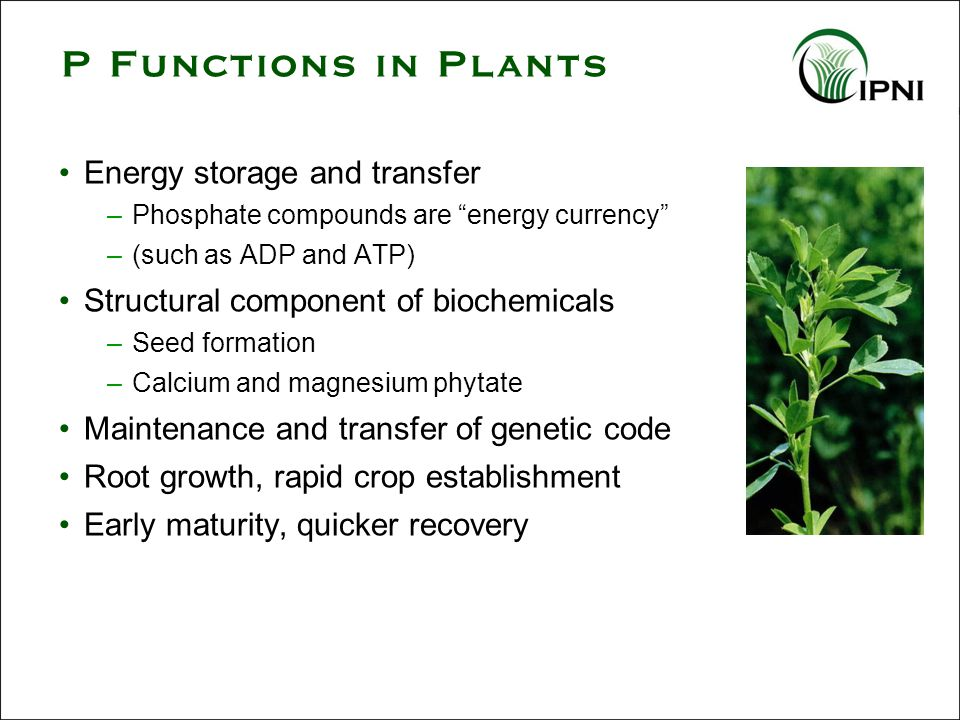 P Functions in Plants Energy storage and transfer –Phosphate compounds are energy currency –(such as ADP and ATP) Structural component of biochemicals –Seed formation –Calcium and magnesium phytate Maintenance and transfer of genetic code Root growth, rapid crop establishment Early maturity, quicker recovery