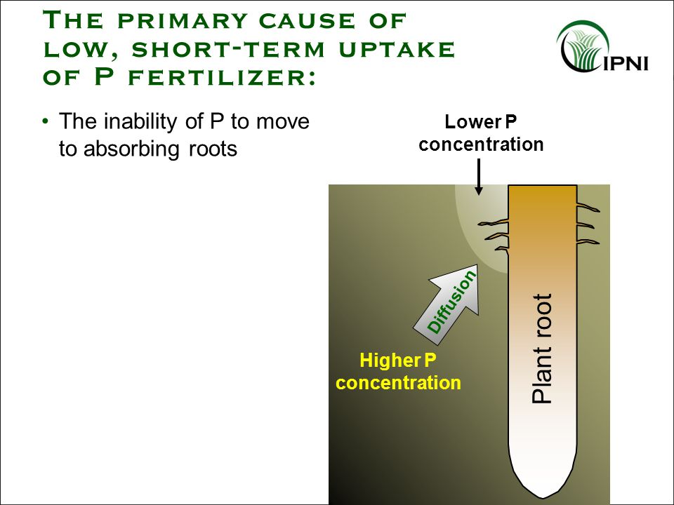 Adequate P is essential for strong root systems Higher levels of nutrients are needed to support vigorous plant growth in cool soil conditions Temperature Effect on Nutrient Uptake Cool soil temperatures will: slow nutrient release from soil organic matter reduce diffusion of nutrients to the roots hinder root absorption and translocation
