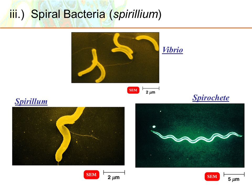 iii.) Spiral Bacteria (spirillium) Spirillum Spirochete Vibrio