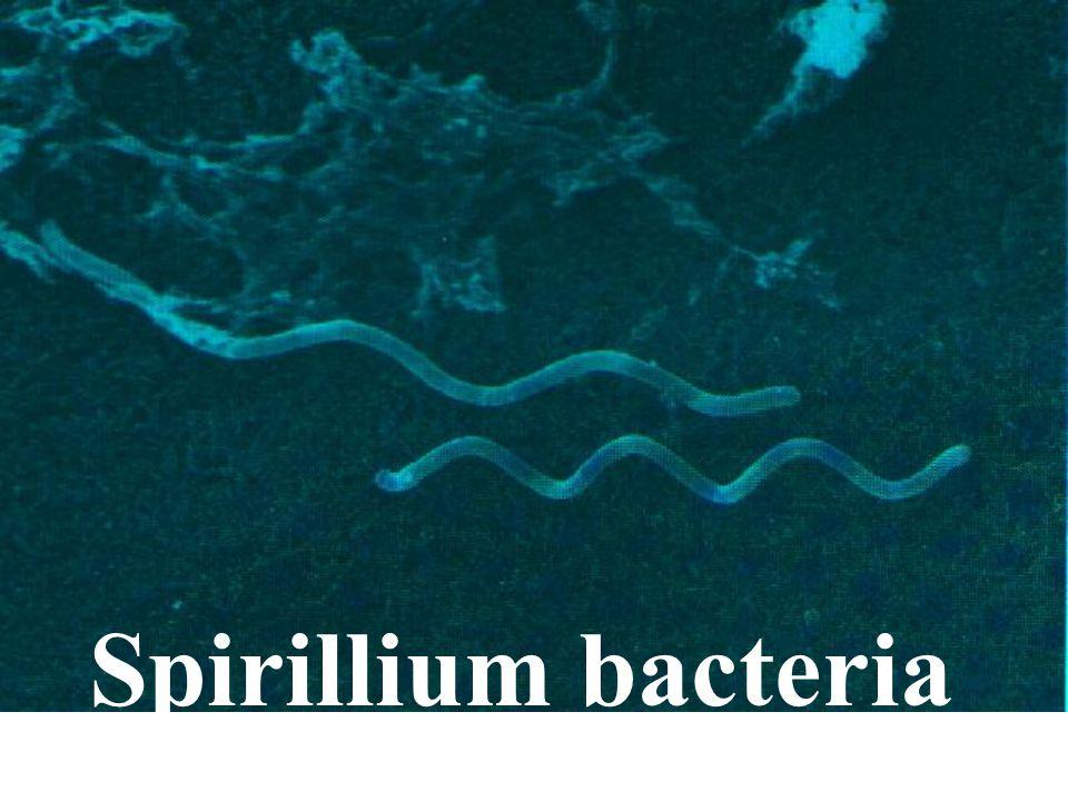 Spirillium bacteria