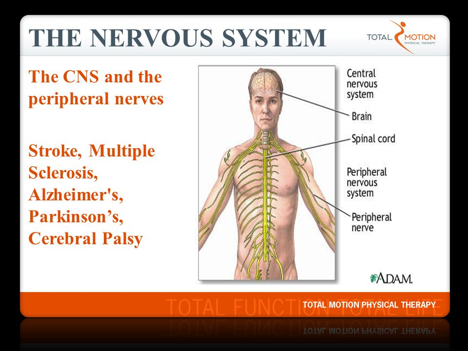 THE NERVOUS SYSTEM The CNS and the peripheral nerves Stroke, Multiple Sclerosis, Alzheimer s, Parkinson's, Cerebral Palsy