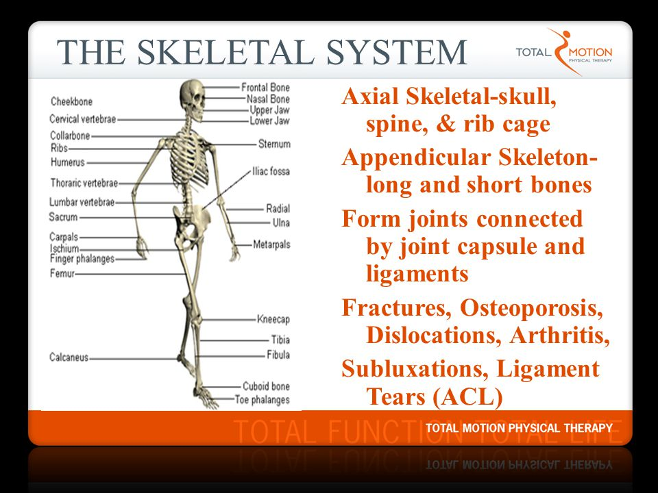 THE SKELETAL SYSTEM Axial Skeletal-skull, spine, & rib cage Appendicular Skeleton- long and short bones Form joints connected by joint capsule and lig
