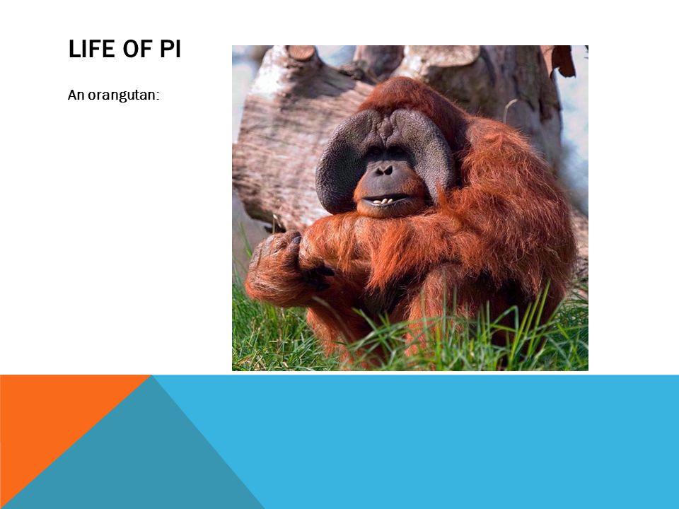 LIFE OF PI An orangutan: