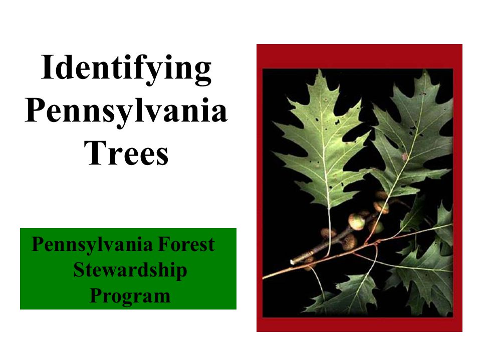 Pennsylvania Forest Stewardship Program Identifying Pennsylvania Trees