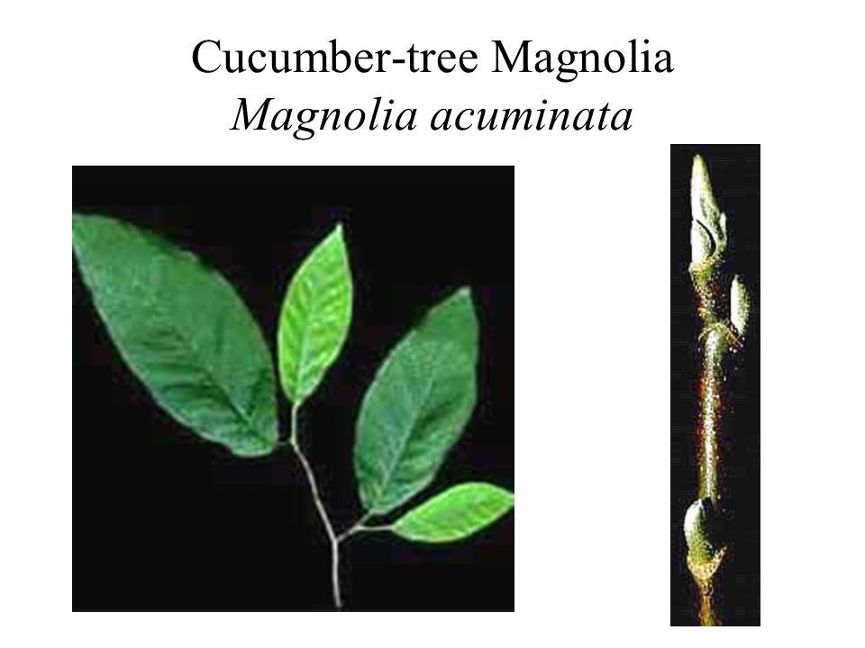 Cucumber-tree Magnolia Magnolia acuminata