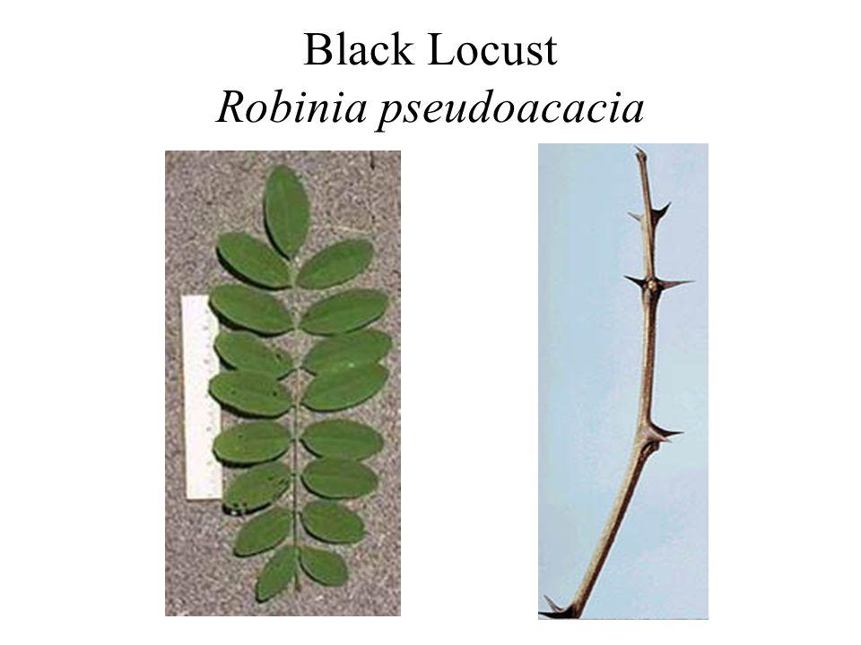 Black Locust Robinia pseudoacacia