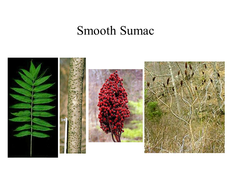 Smooth Sumac