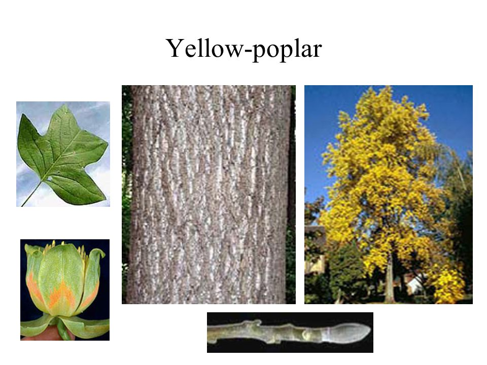 Yellow-poplar