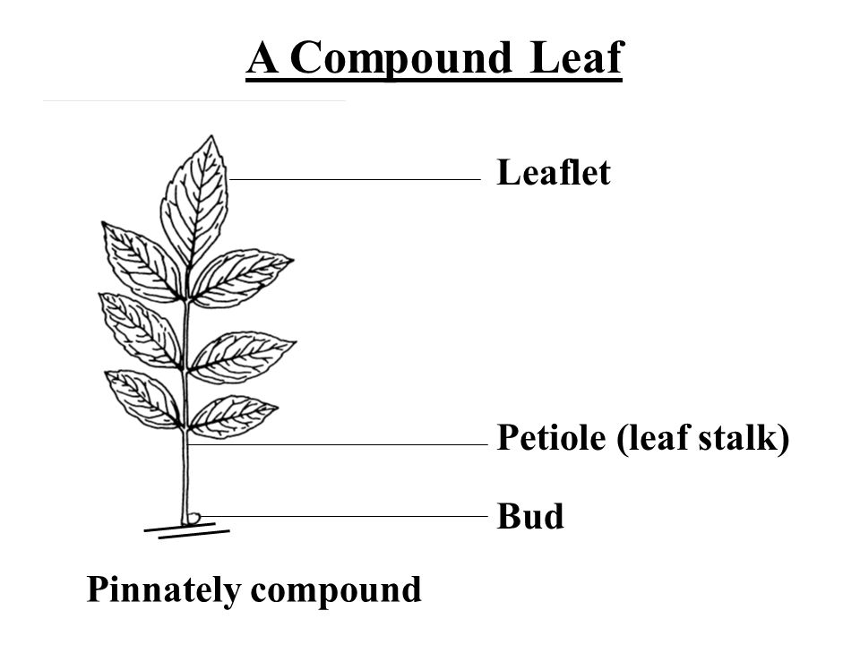 Leaflet Petiole (leaf stalk) Bud Pinnately compound A Compound Leaf