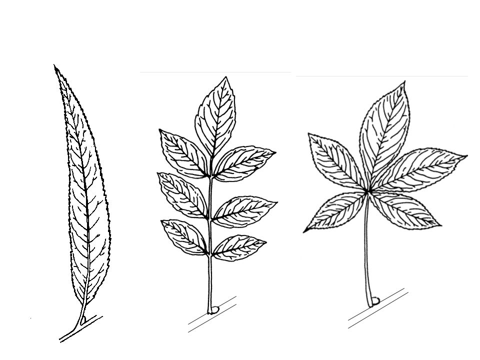 Leaf Structure Comparison