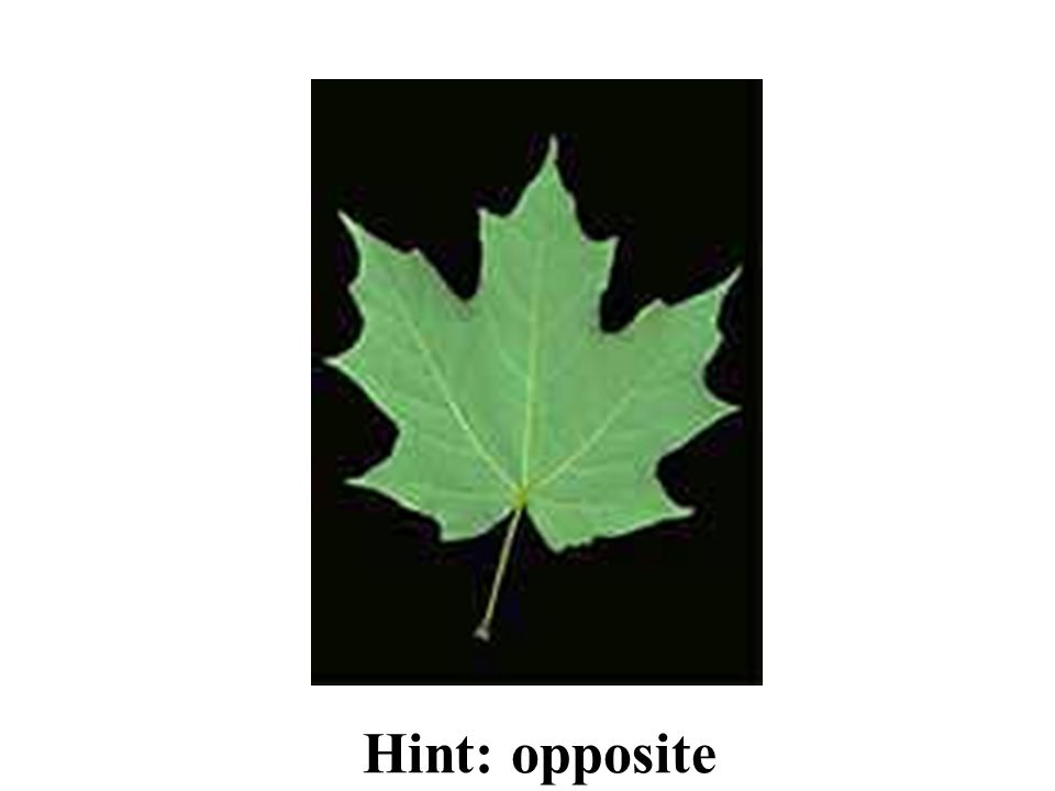 Hint: opposite Sugar Maple ID Slide