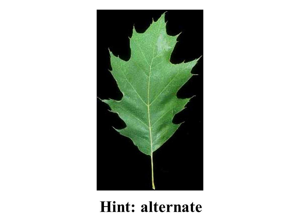 Hint: alternate Northern Red Oak ID Slide
