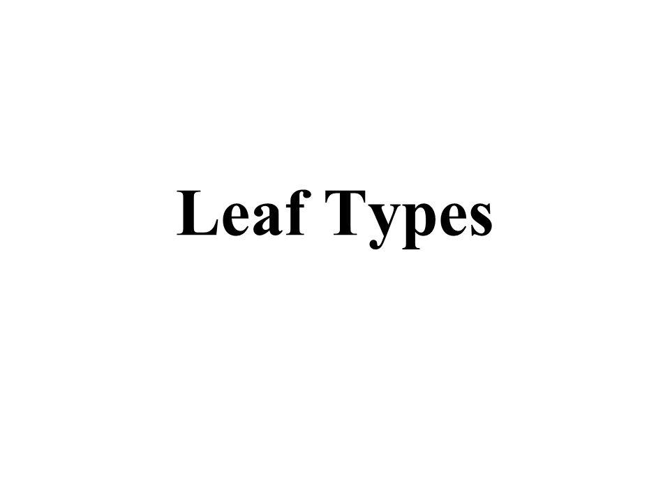 Petiole (leaf stalk) Bud A simple leaf