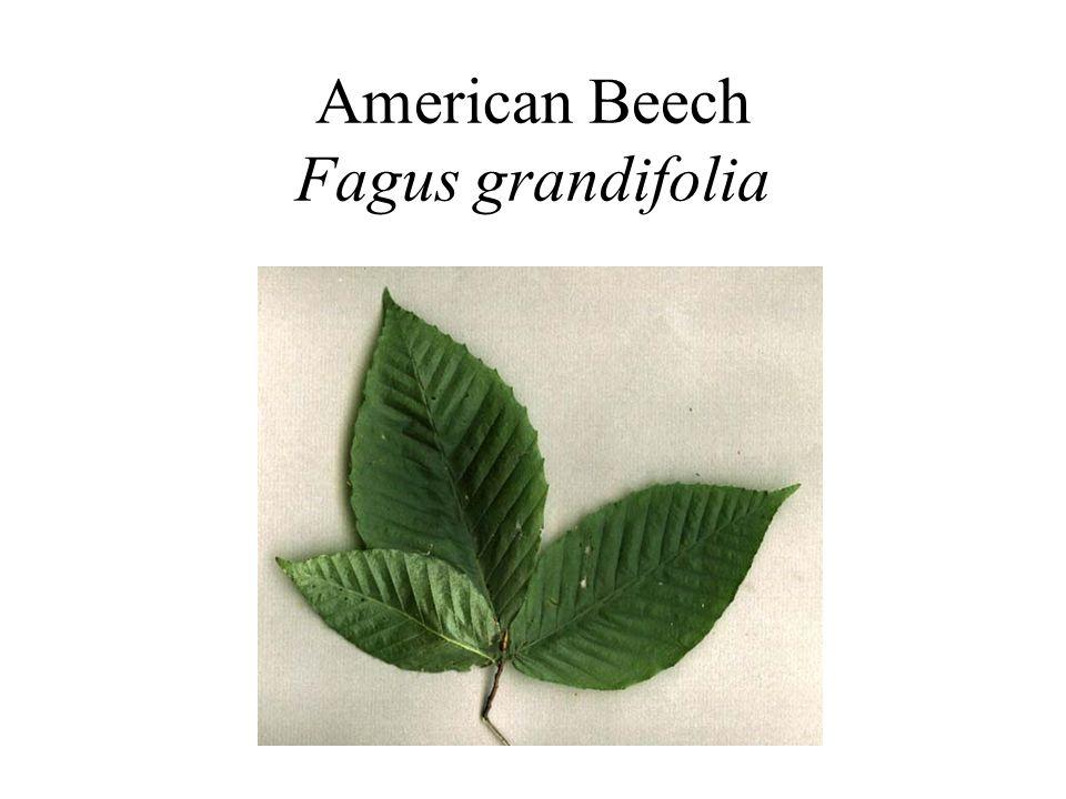 American Beech Fagus grandifolia