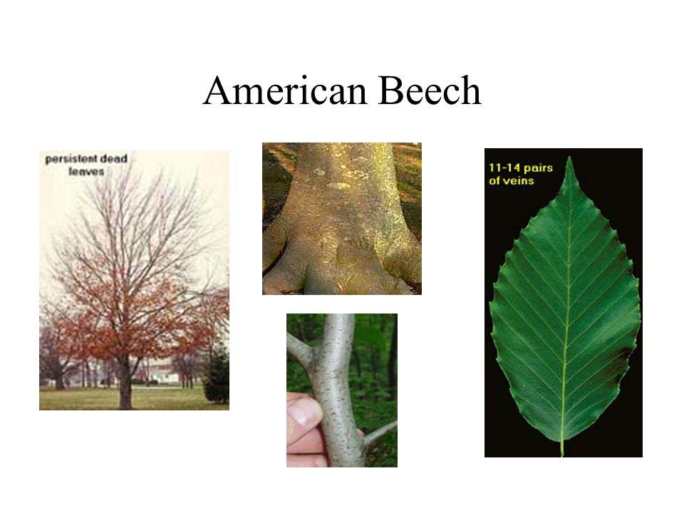 American Beech