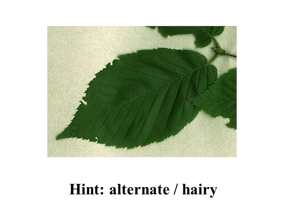 Hint: alternate / hairy Yellow Birch ID Slide