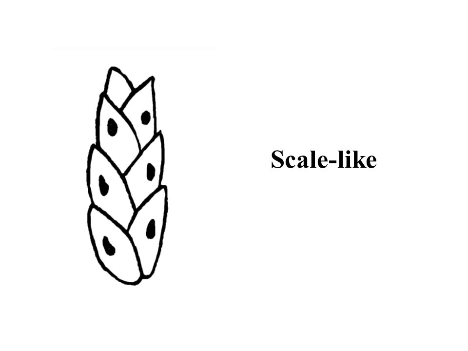 Hint: alternate; hairy Paper Birch ID Slide