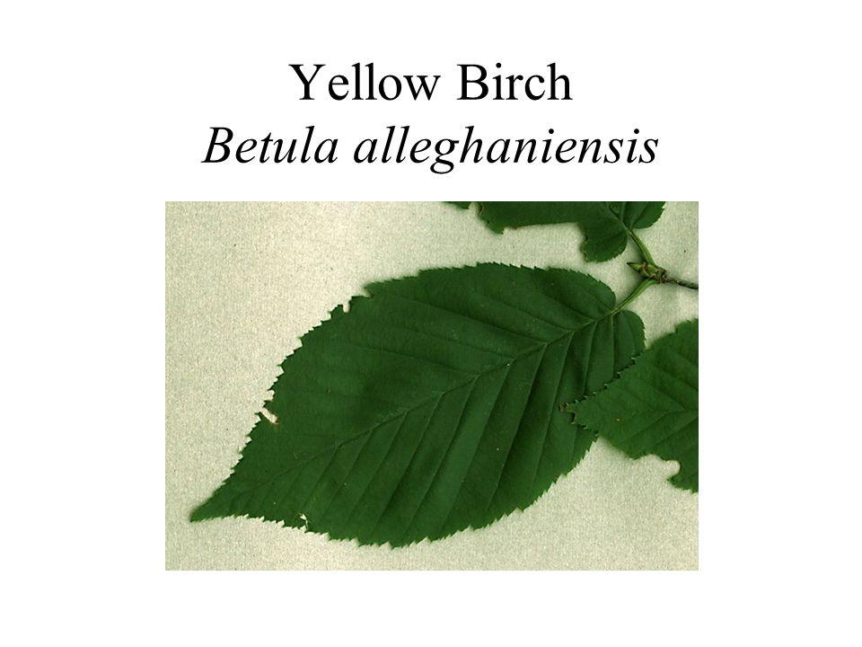 Yellow Birch Betula alleghaniensis