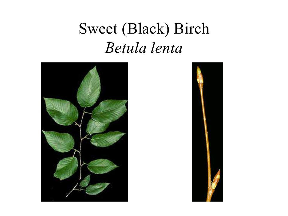 Sweet (Black) Birch Betula lenta