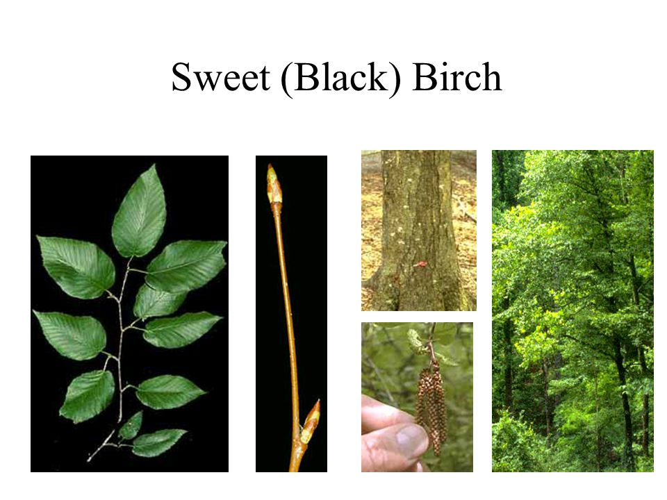 Sweet (Black) Birch