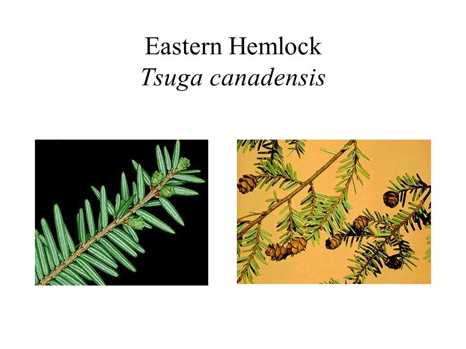 Eastern Hemlock Tsuga canadensis