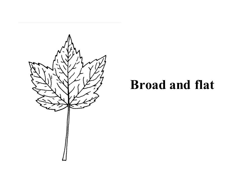 Hint: opposite Flowering Dogwood ID Slide