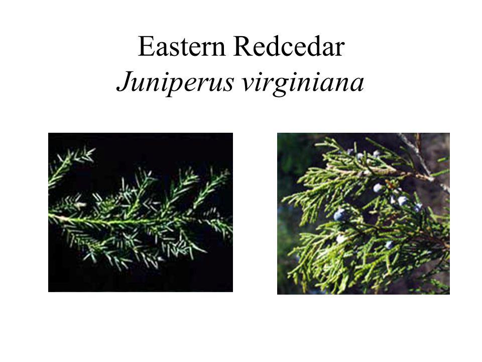 Eastern Redcedar Juniperus virginiana