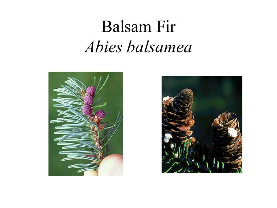Balsam Fir Abies balsamea