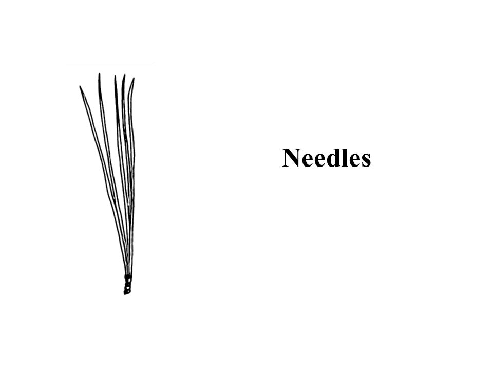 Hint: needles more than 3 inches long Red Pine ID Slide