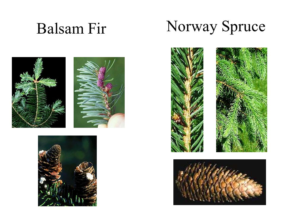 Balsam Fir Norway Spruce Fir versus Spruce