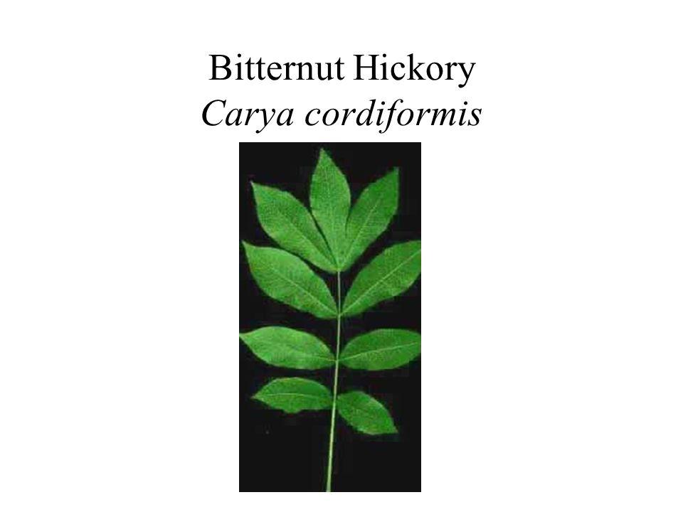 Bitternut Hickory Carya cordiformis