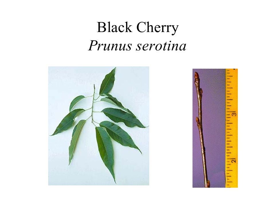 Black Cherry Prunus serotina
