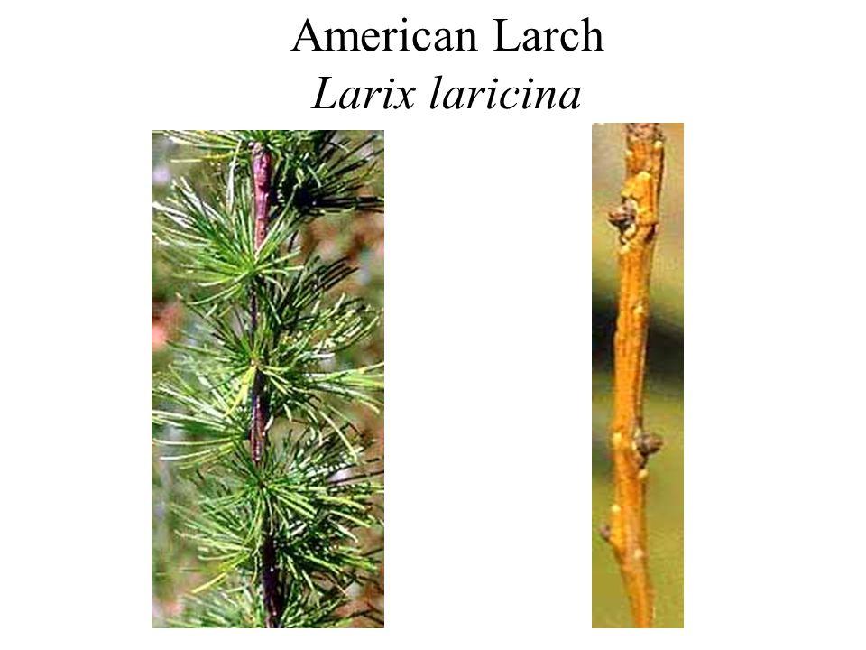 American Larch Larix laricina