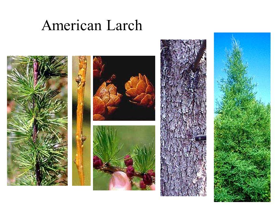 American Larch