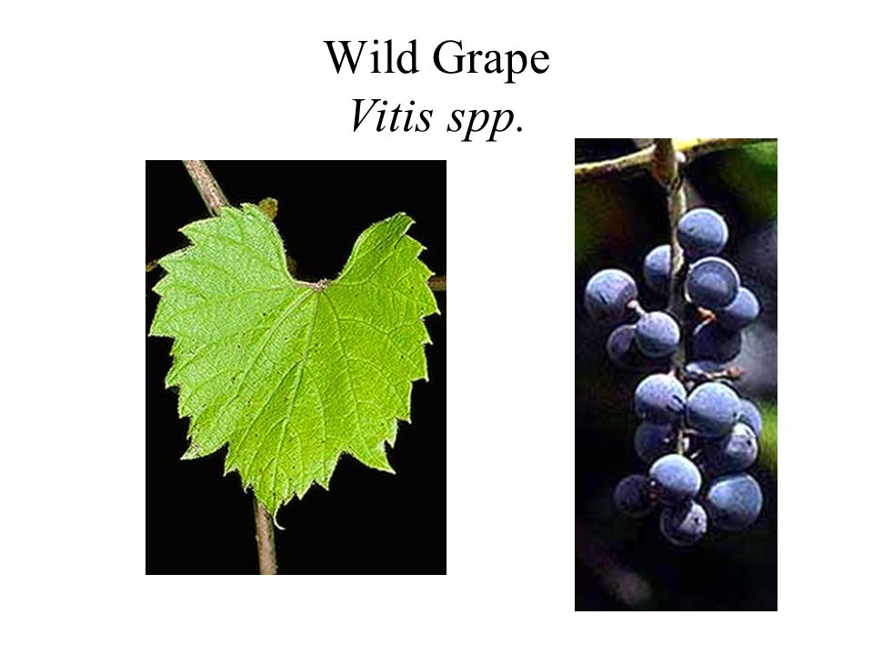 Wild Grape Vitis spp.