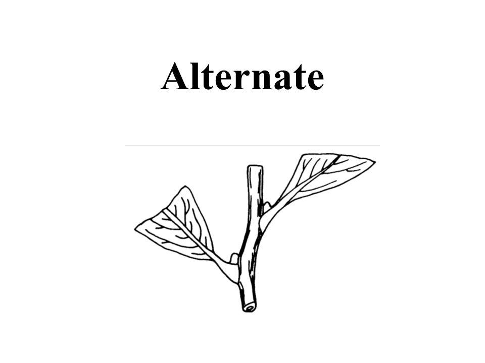 Hint: leaves rough American Elm ID Slide