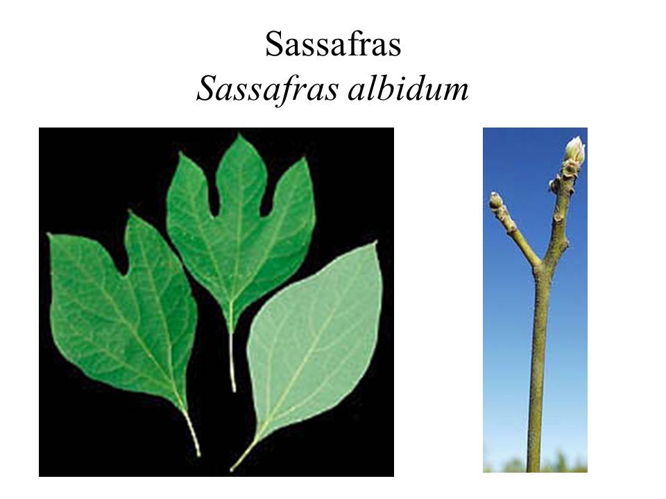 Sassafras Sassafras albidum