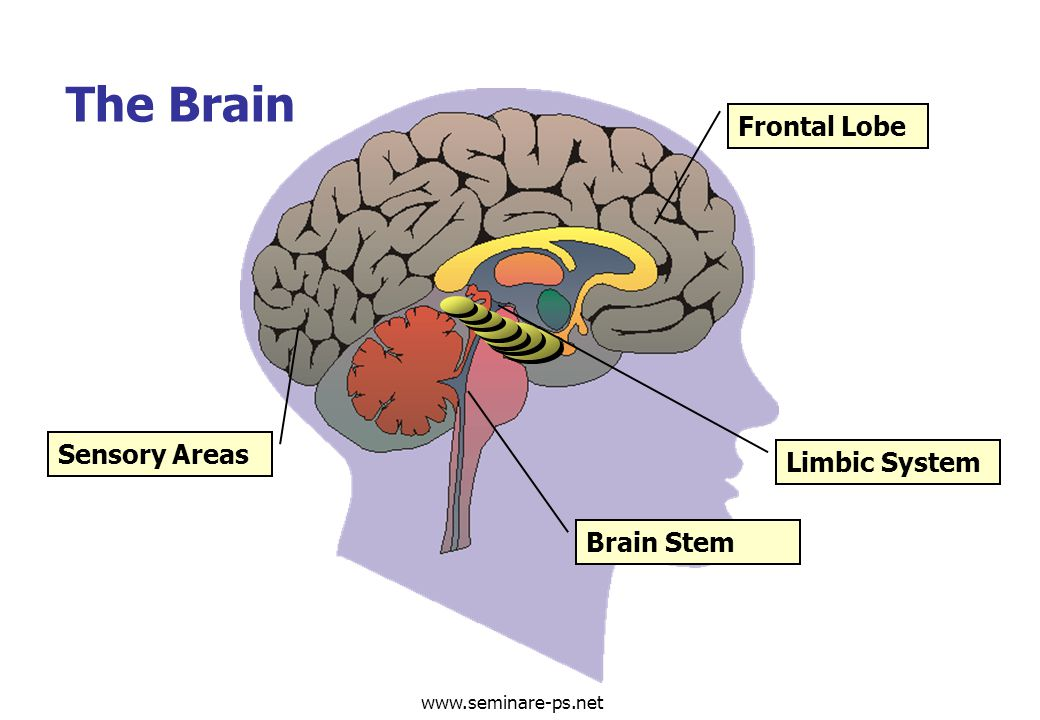www.seminare-ps.net Limbic System Frontal Lobe Sensory Areas Brain Stem The Brain