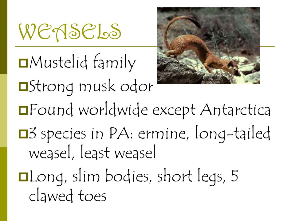 WEASELS  Mustelid family  Strong musk odor  Found worldwide except Antarctica  3 species in PA: ermine, long-tailed weasel, least weasel  Long, slim bodies, short legs, 5 clawed toes