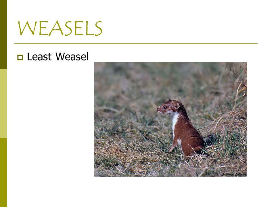 WEASELS  Least Weasel