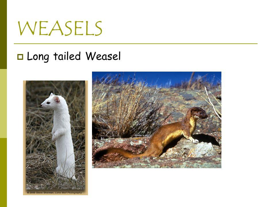 WEASELS  Long tailed Weasel