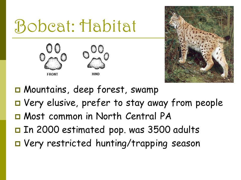Bobcat: Habitat  Mountains, deep forest, swamp  Very elusive, prefer to stay away from people  Most common in North Central PA  In 2000 estimated pop.