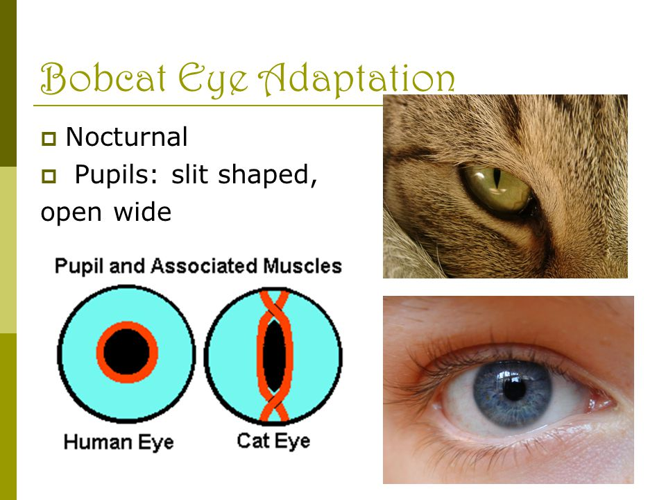 Bobcat Eye Adaptation  Nocturnal  Pupils: slit shaped, open wide