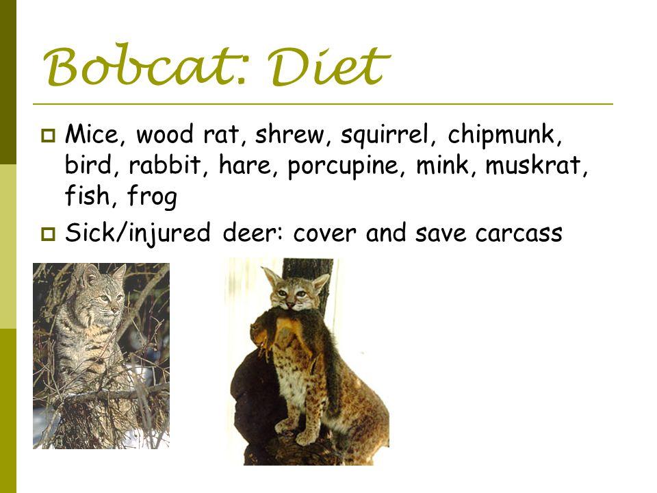 Bobcat: Diet  Mice, wood rat, shrew, squirrel, chipmunk, bird, rabbit, hare, porcupine, mink, muskrat, fish, frog  Sick/injured deer: cover and save carcass